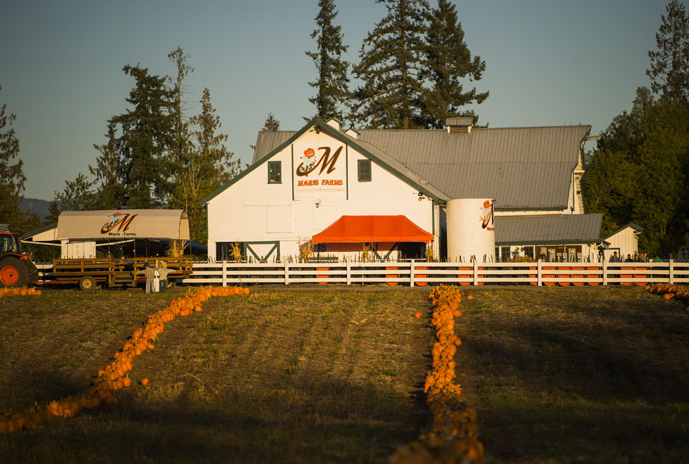 Two rows of pumpkins lead up to the Maris Farms barn-like building